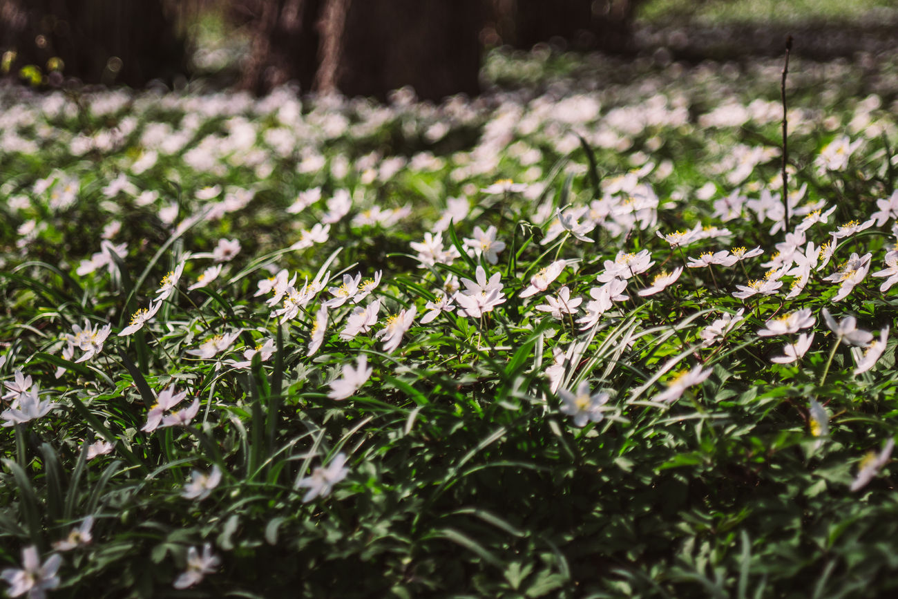 A field of white wood anemone flowers growing in a spring sun. Beauty In Nature Blooming Field Flower Grass Grassy Growing Growth In Bloom Nature Surface Level Wood Anemone
