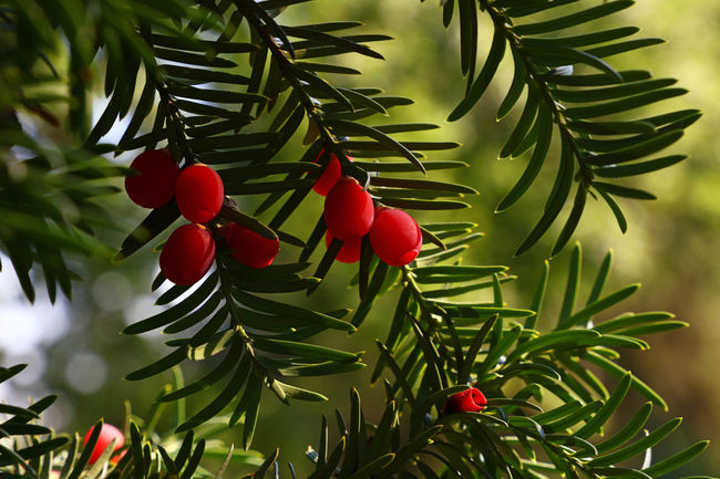 Taxus baccata (European yew) with mature cones, close up Beauty In Nature Berries Branch Close-up Colorful Colors Cones Day Evergreen Fir Growth Leaf Nature Needles No People Outdoors Red Season  Sunshine Taxus Baccata Tree Vibrant Vivid Yew Yew Tree
