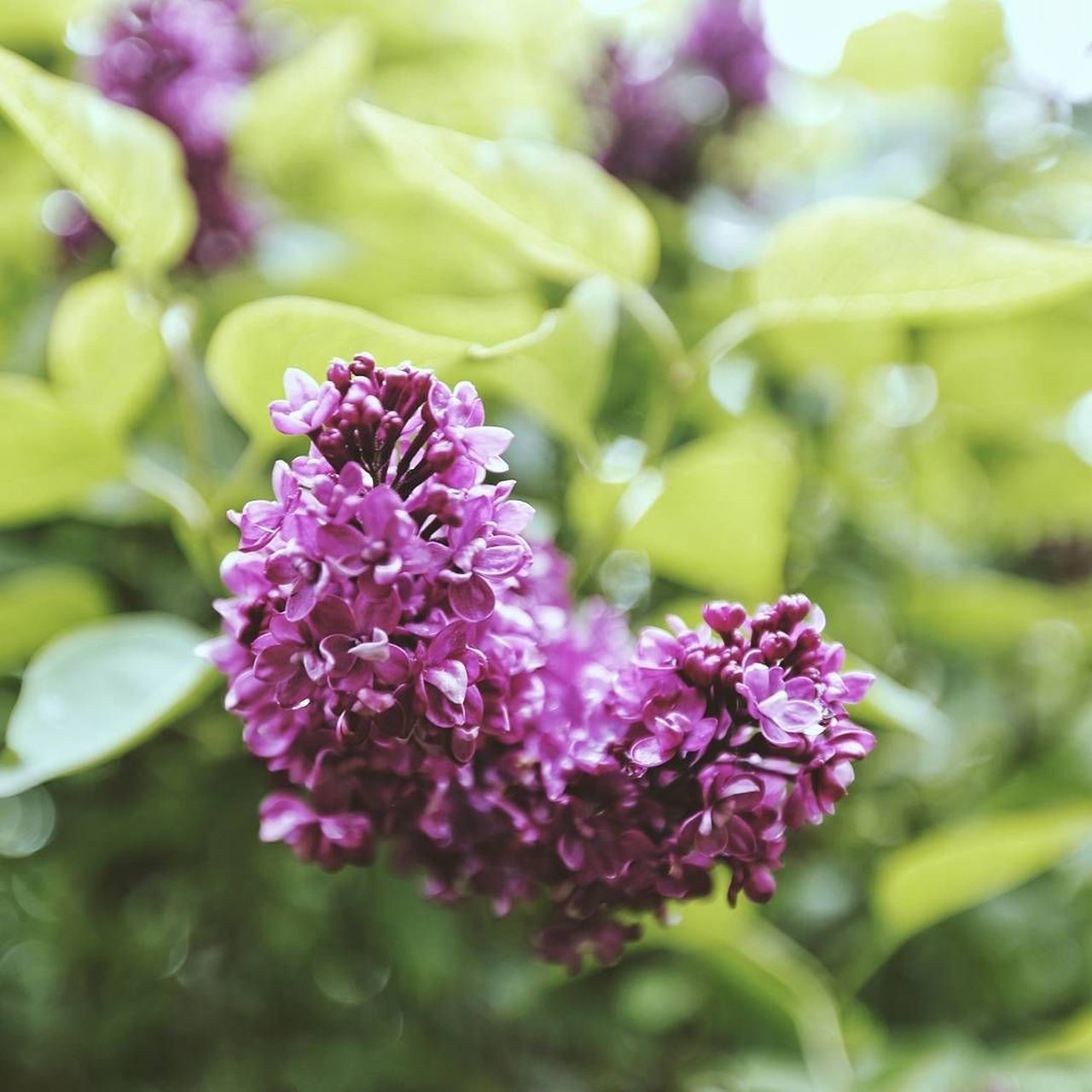 Flower Purple Plant Nature Flower Head Blossom No People Fragility Scented Close-up Beauty In Nature Outdoors Day Freshness Pastel Colored Eye4photography  Nature Green Color Freshness Beauty In Nature