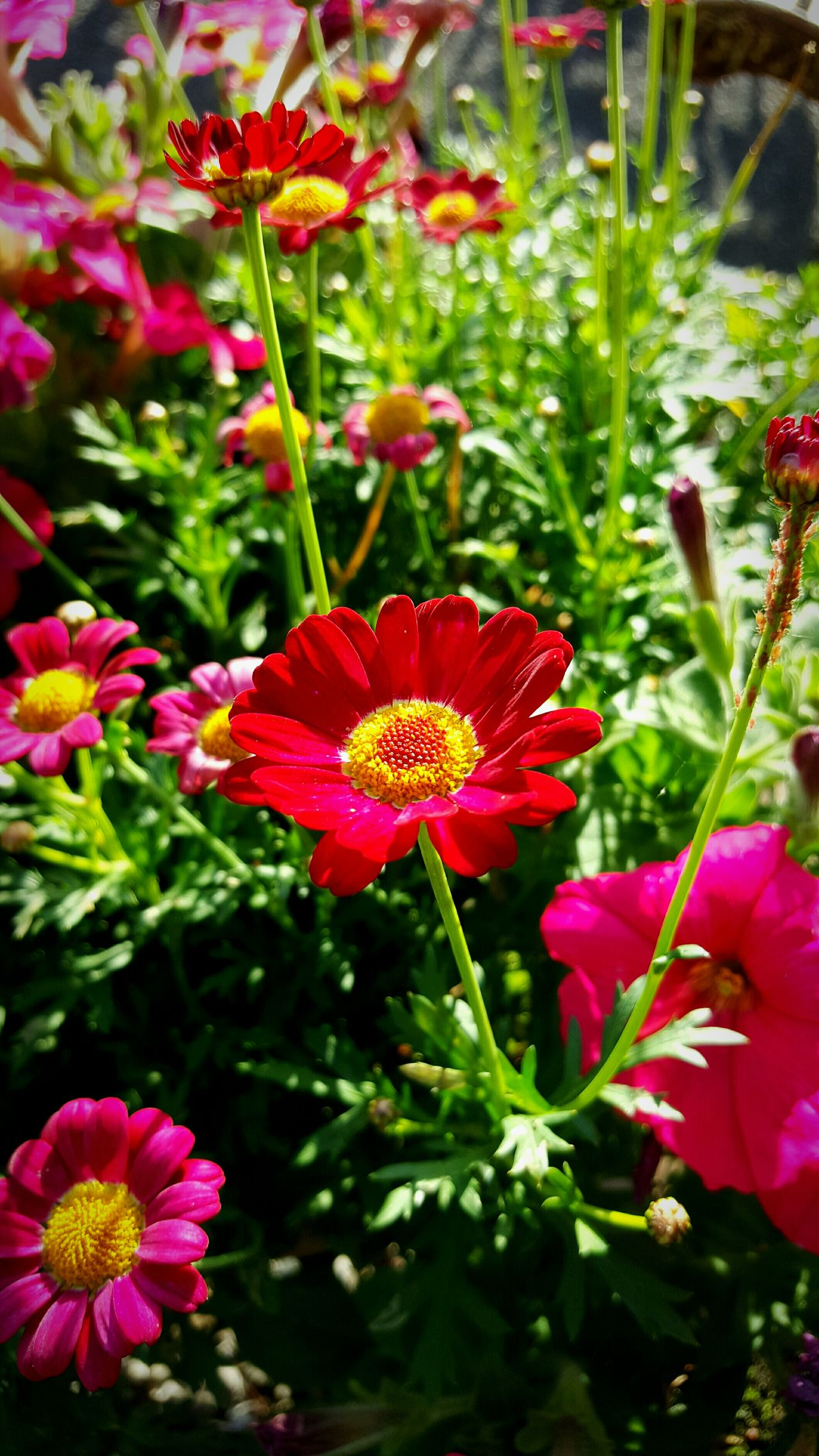 Argyranthemum frutescens. Daisy red Colour Of Life Container Gardening No People Close-up Garden Bright Flower daytime Garden Photography Gardening