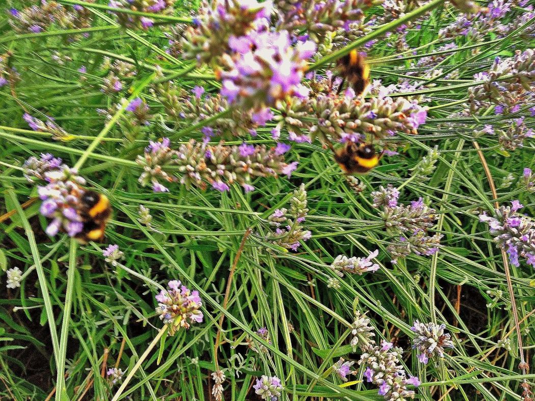 busy bees on lavender in our gardenFlowers And Insects