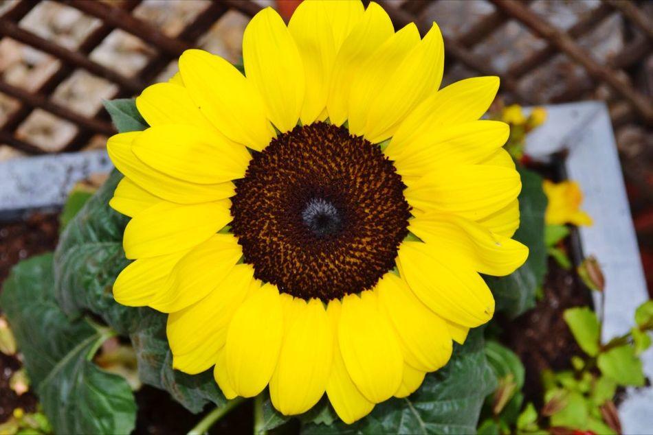 Sunflower MyBackGarden