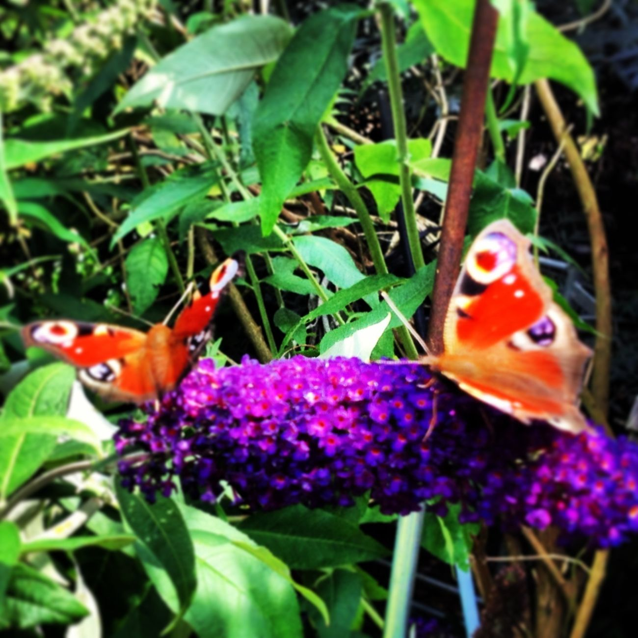Peacock Butterflies around a Buddleia Bush 25 Days Of Summer