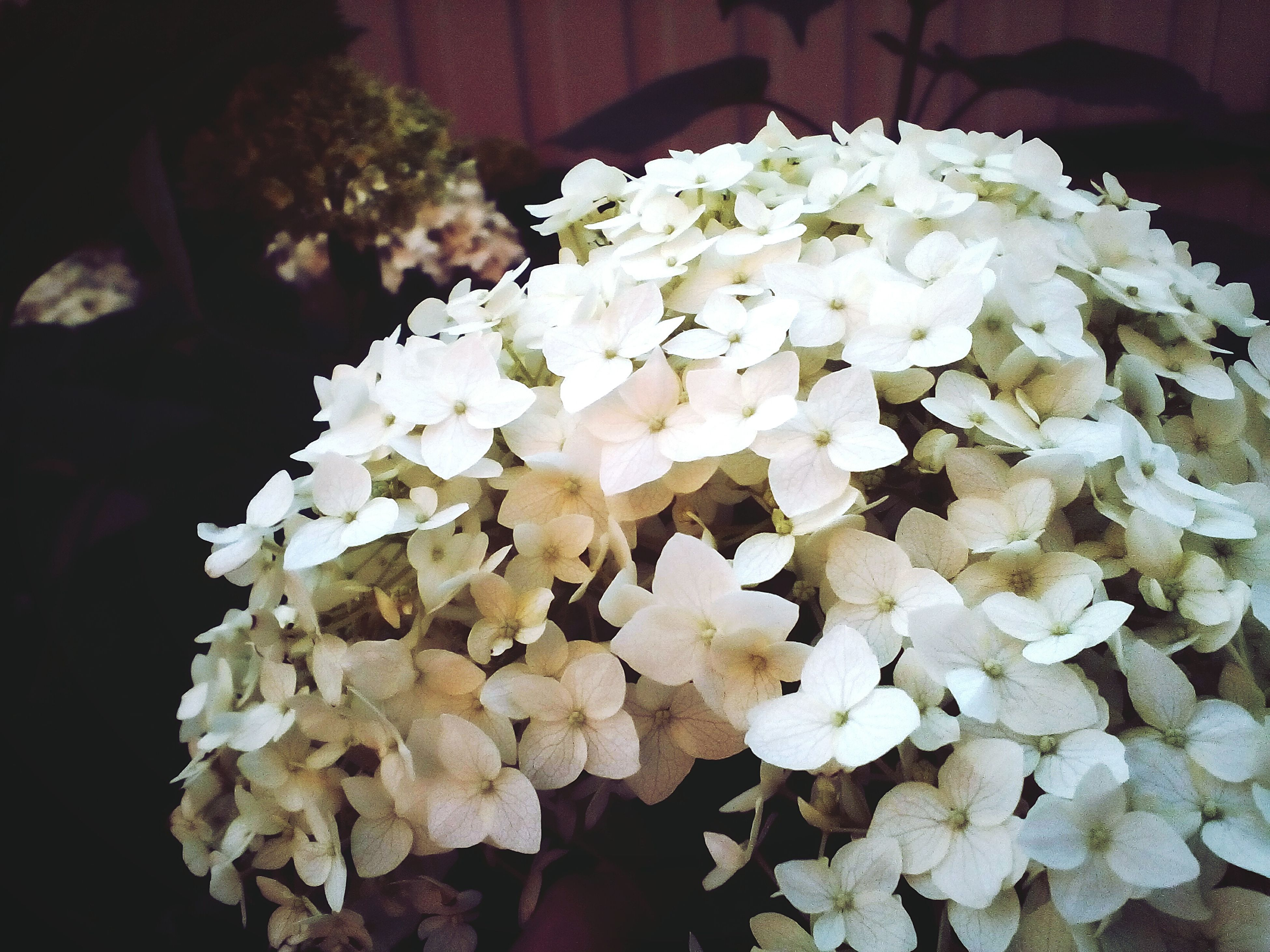 flower, freshness, petal, fragility, white color, flower head, beauty in nature, growth, blooming, nature, close-up, white, blossom, in bloom, focus on foreground, bunch of flowers, plant, no people, botany, outdoors, day, softness, selective focus, pollen, tranquility