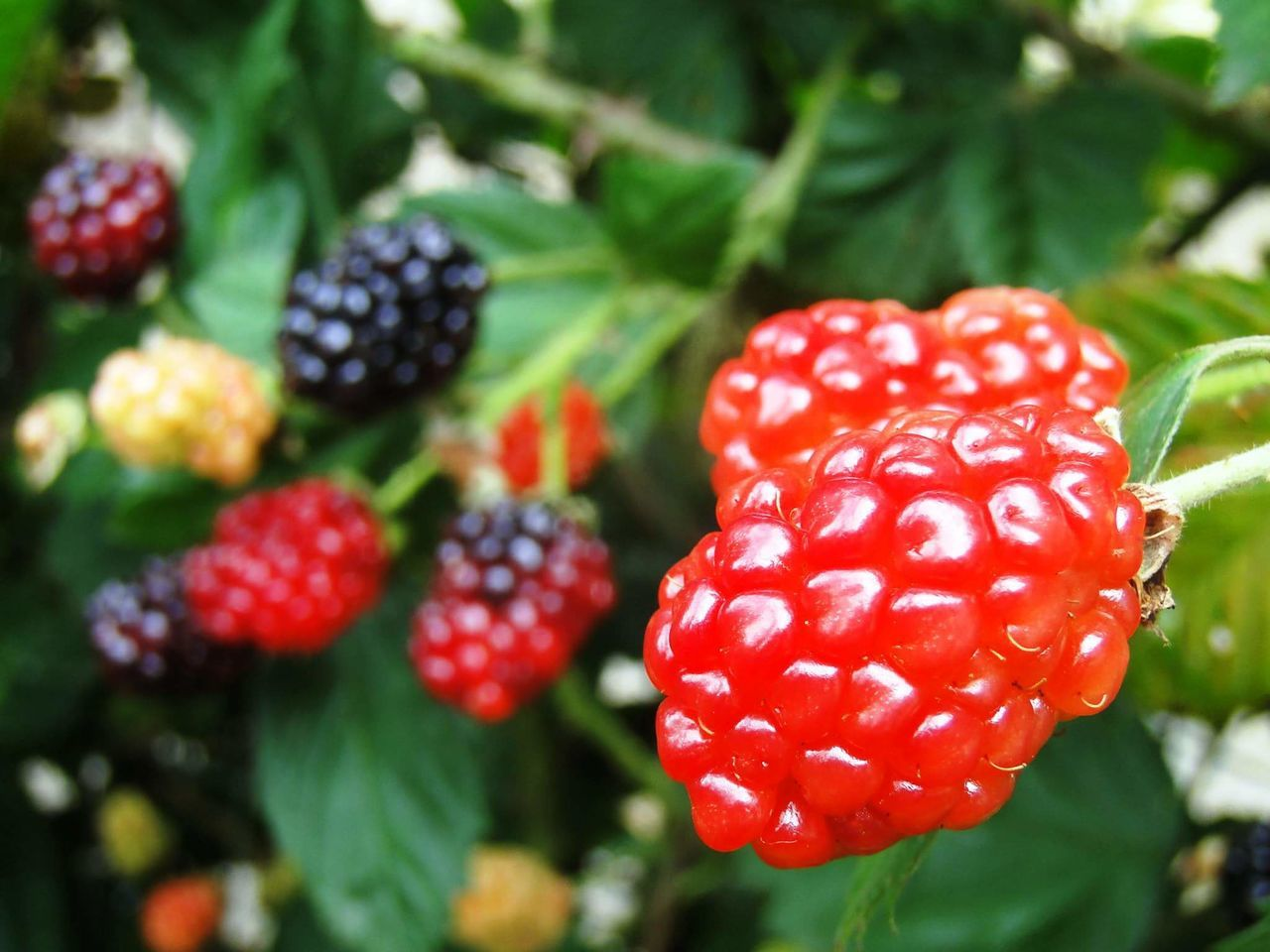 Red Fruit Outdoors Close-up Freshness Focus On Foreground Nature Growth Organic Organic Fruit Blackberry Blackberry - Fruit Blackberries Amoras Amora Pomar Organico Blackberry Fruit Frutas Frescas Fresh Fruits My Garden Fruits Of The Garden Fresh Blackberries Fruits Fresh Produce