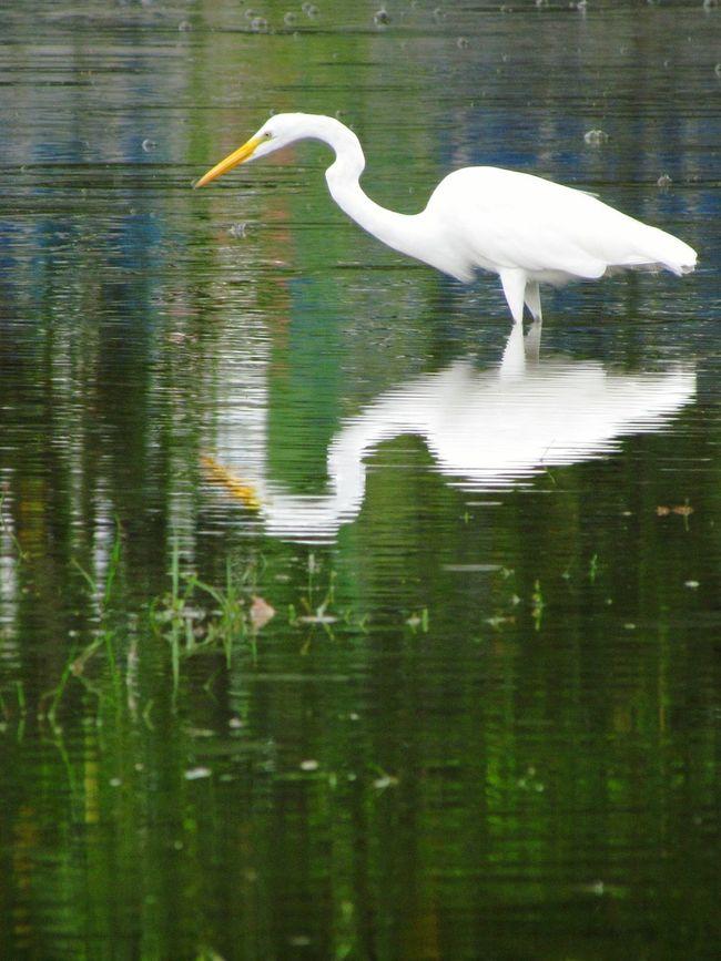 Garças Birds Water Reflections Getting Creative