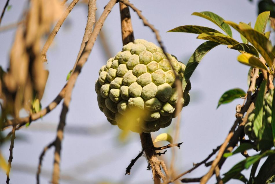 EyeEm Fruit Collection Custard Apple Tree Fruit Branch Close-up Agriculture Nature Focus On Foreground Beauty In Nature Growth No People Plant Outdoors Day
