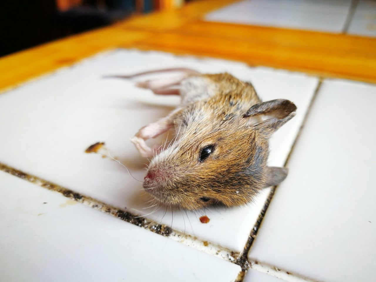 EyeEm Selects 🐁 Rodent One Animal Animal Themes Animal Wildlife Indoors  Close-up No People Animals In The Wild Mammal Pets Day Food