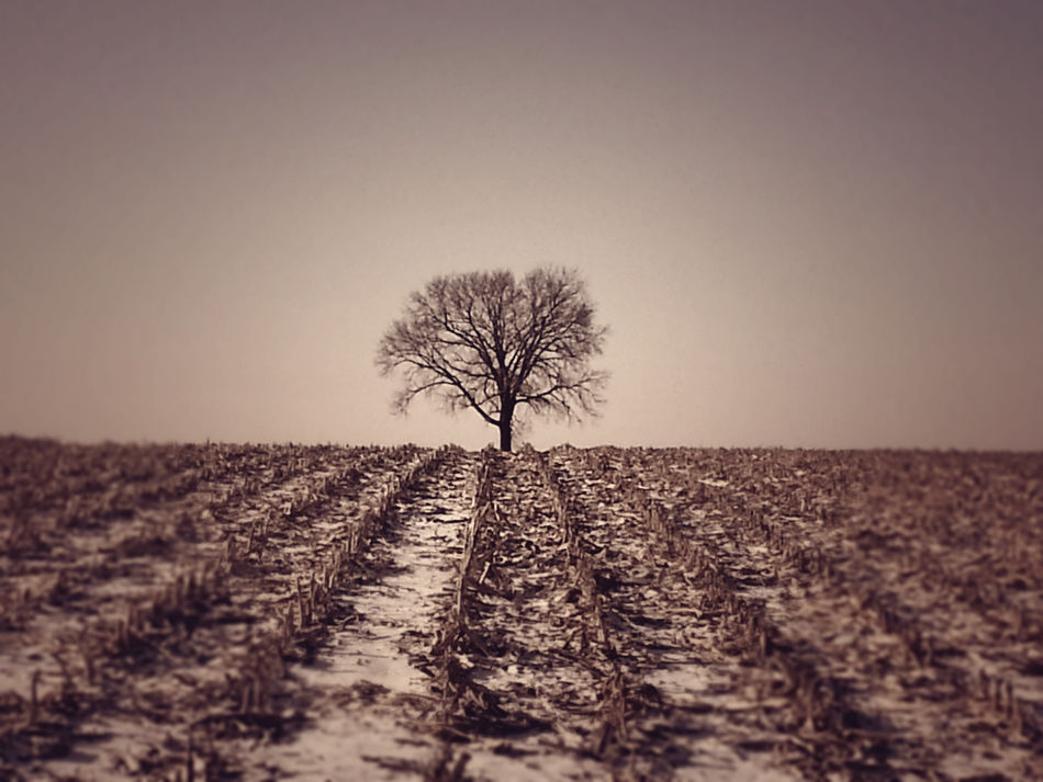 One Tree Sepia Tree In Corn Field Tree In Corn Field Vintage Tree In Corn Fie