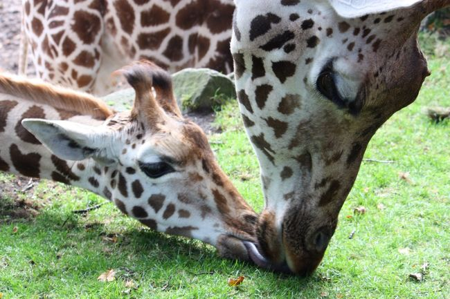 Animal Themes Grazing Nature Giraffe♥ Mother & Daughter