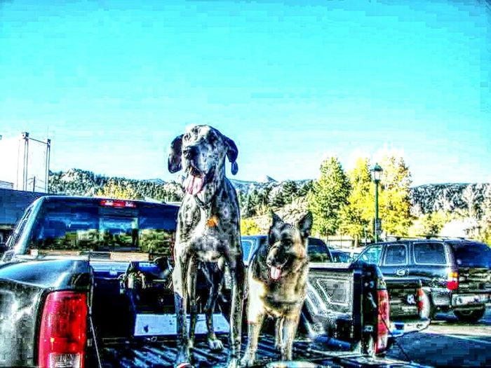 Two best friends. Forever remembered Check This Out Great Danes German Shepherd Enjoying Life Playing With Filters