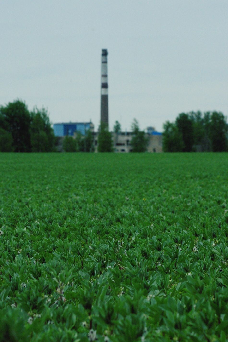 Summer Summertime Bean Blossoming  Agriculture Agricultural Land Factory Paperfactory