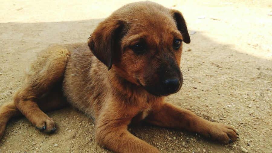 Puppy Indian Street Dog Street Dog Dog Pets Domestic Animals One Animal Outdoors Mammal Sitting Animal Themes Nature Close-up Day