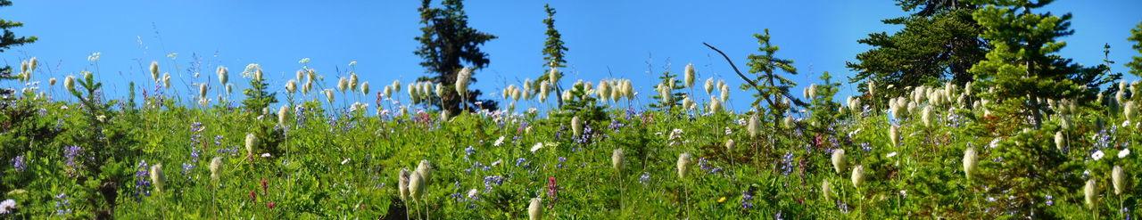 Mt Rainier Naches Peak Trail Wild Flowers