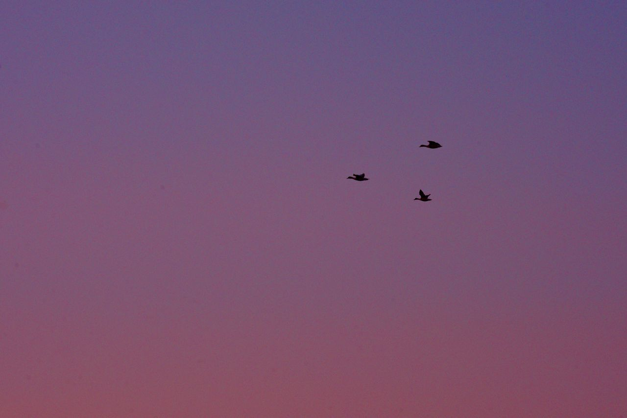 Low Angle View Flying Animal Themes Outdoors Beauty In Nature No People Day Scenics Bird Nature Sky Geese Geese In Flight Birds Flying Birds Flying High Travel Broadway Sunset Sunset_collection Purple