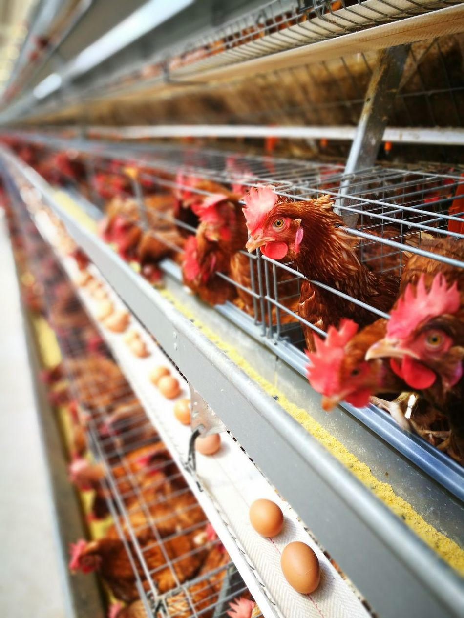 Beautiful stock photos of rooster,  Agriculture,  Animal Egg,  Animal Pen,  Animal Themes