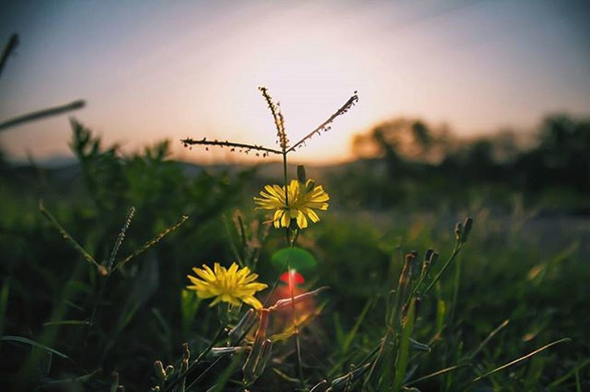 """What's up, morning glory?"" Sunlight Flowers Intothesun Morning Green Grass GrowingUp Wild Canon Canon_photos Canonphotography T3i Sukhna Lake Sukhnalake Chandigarh India VSCO Vscocam"