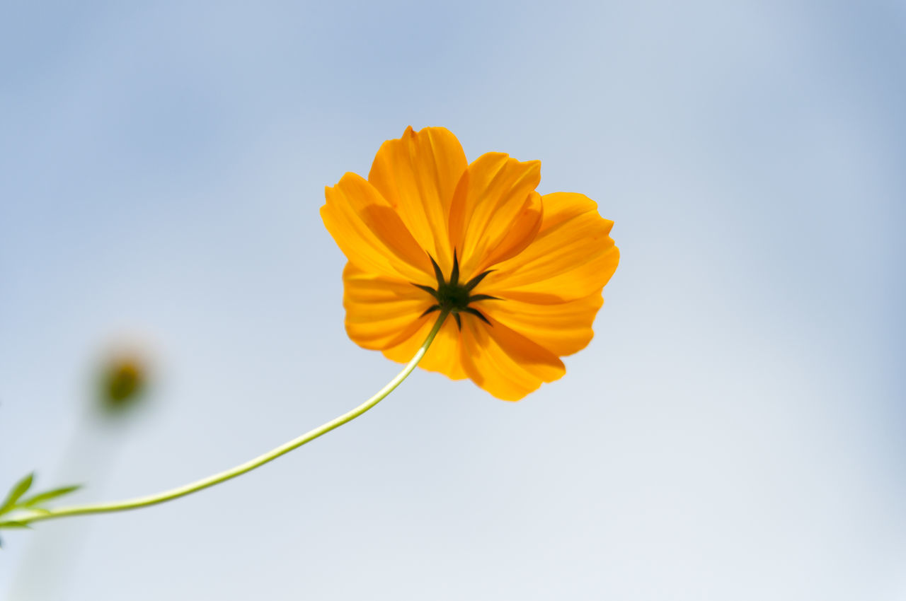 beauty in Nature blooming blossom close-up Cosmos day flower flower head focus on foreground fragility Freshness Growth in bloom Nature outdoors petal Single flower springtime stem vibrant color yellow Yellow flower yellow flowers