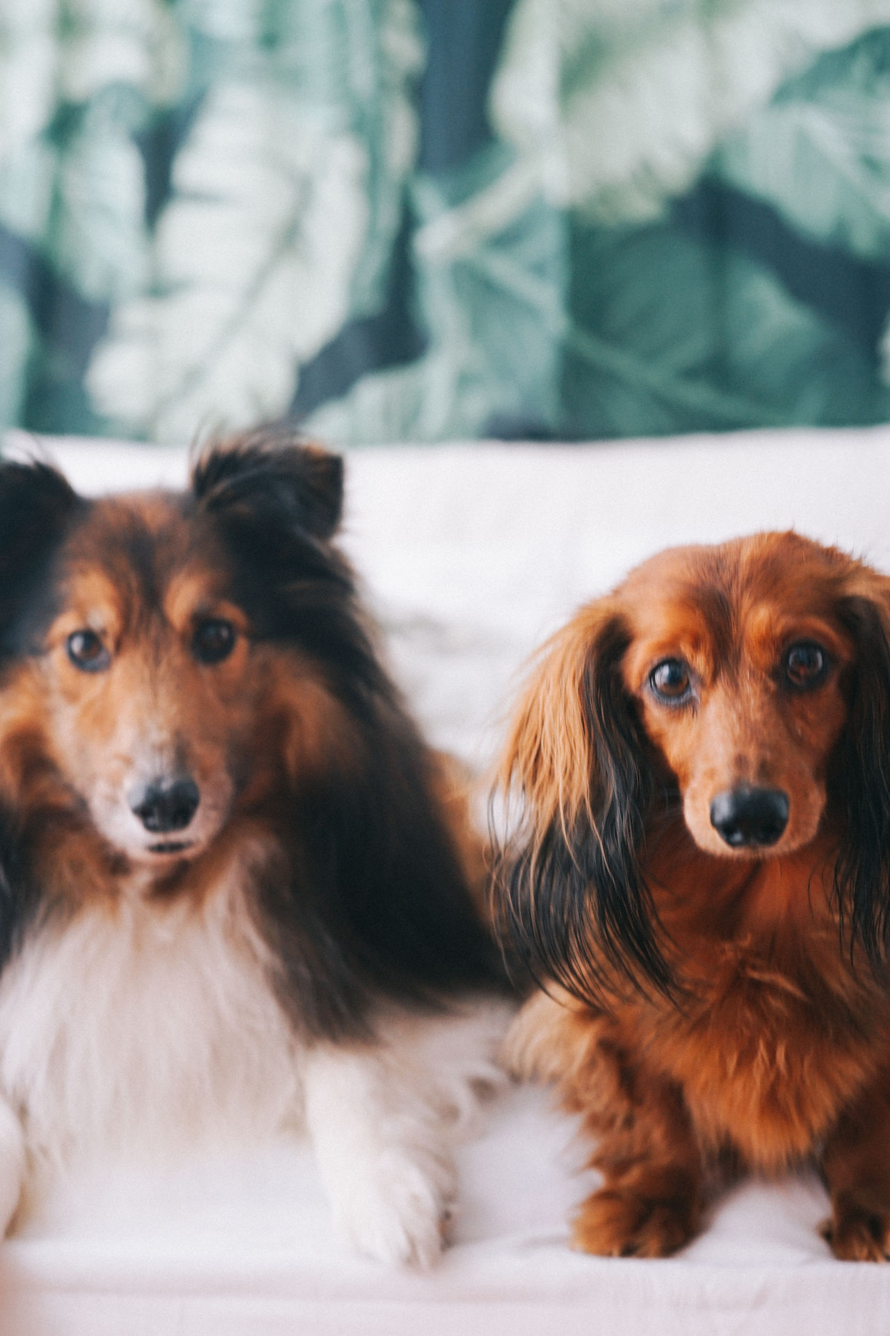 Animal Themes Close-up Dachshund Day Dog Domestic Animals Indoors  Looking At Camera Mammal No People Pets Portrait Sausagedog Sheepdog Sheltie Two Dogs