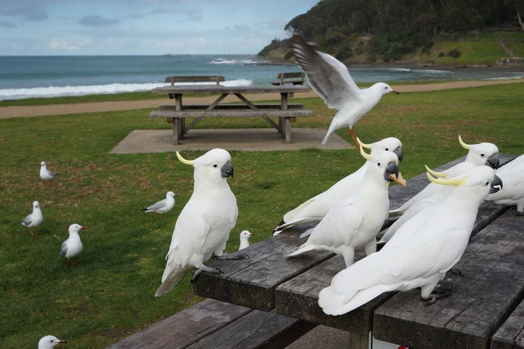 Australia EyeEm Nature Lover Animal Themes Animal Wildlife Animals In The Wild Beauty In Nature Bird Day Mammal Nature No People Outdoors Pelican Perching Sea Seagull Sky Swan Water Wood - Material Been There. Done That.