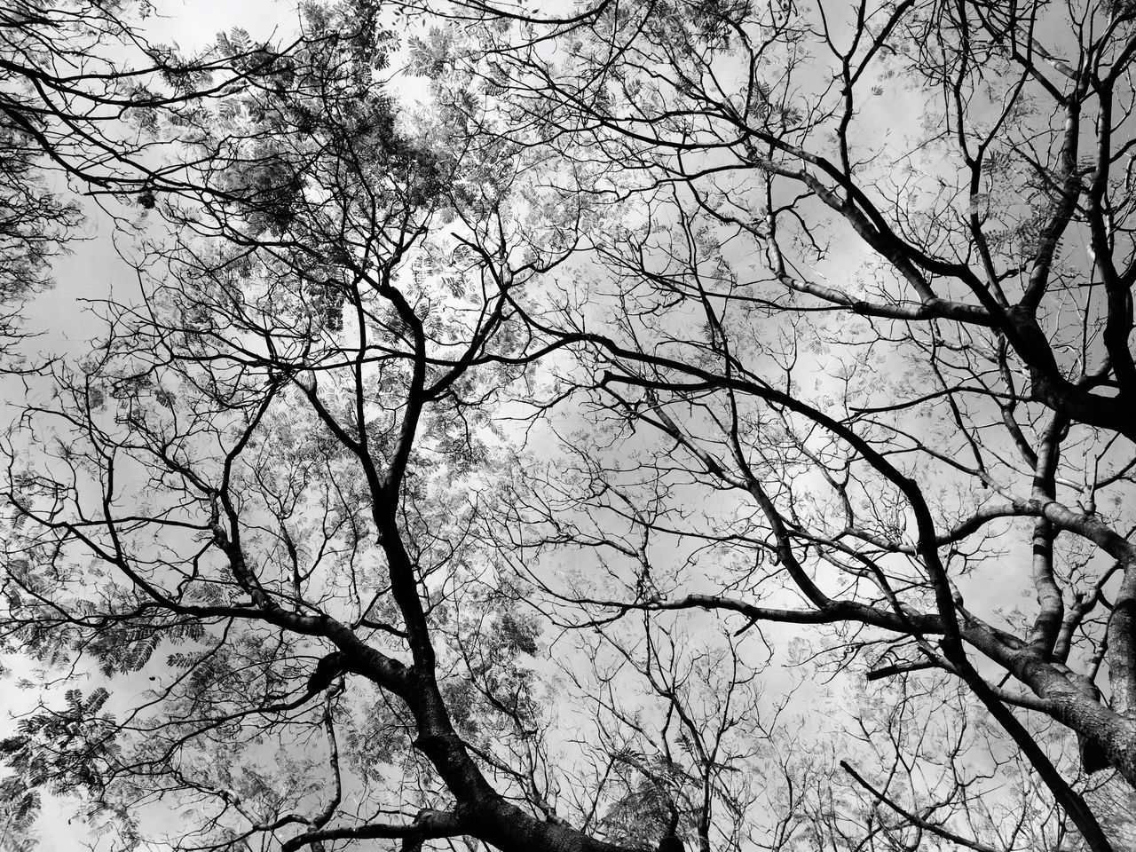Lookingup Looking Up Trees Tree Twigs Twigs And Branches Low Angle View Sky Blackandwhite Black And White Black & White EyeEm Best Shots - Black + White EyeEm Best Shots EyeEm Nature Lover Eye4photography  EyeEm Gallery Nature Nature_collection Nature Photography Nature On Your Doorstep Nostalgia Nostalgic  Mexico City Ciudad De México Beauty In Nature