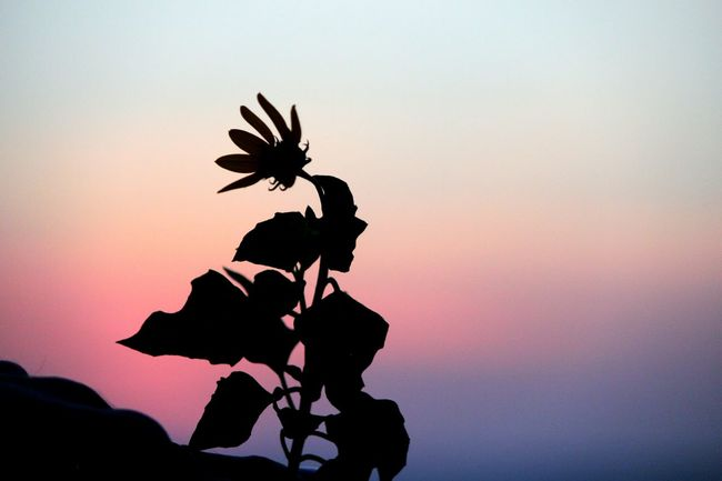 Sunset Silhouette Plant Life Close-up Blowing In The Wind... Petal Tranquility Nature Flower Lonely Ft. Desoto Florida Wind Cottoncandy Single Flower Stand Out From The Crowd Stand Out From The Rest Stand Up Speak Out Let Your Voice Be Heard... Journey Hiking