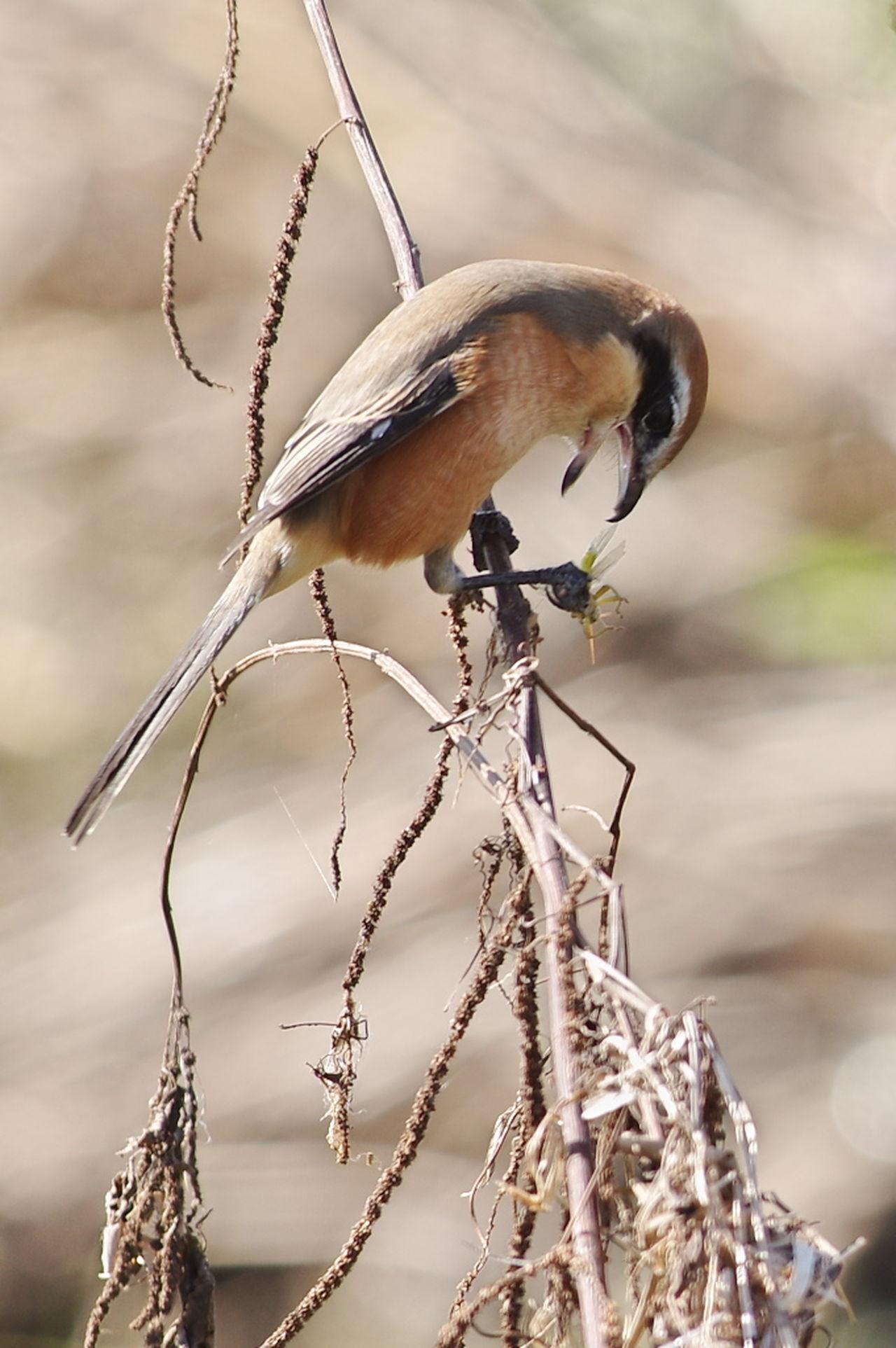 食事中です。虫嫌いの人はじっくり見ない方がいいかも。(笑) 百舌 百舌鳥 Shrike Bird Bird Photography Bird Watching Nature Nature Photography Nature_collection Naturelover