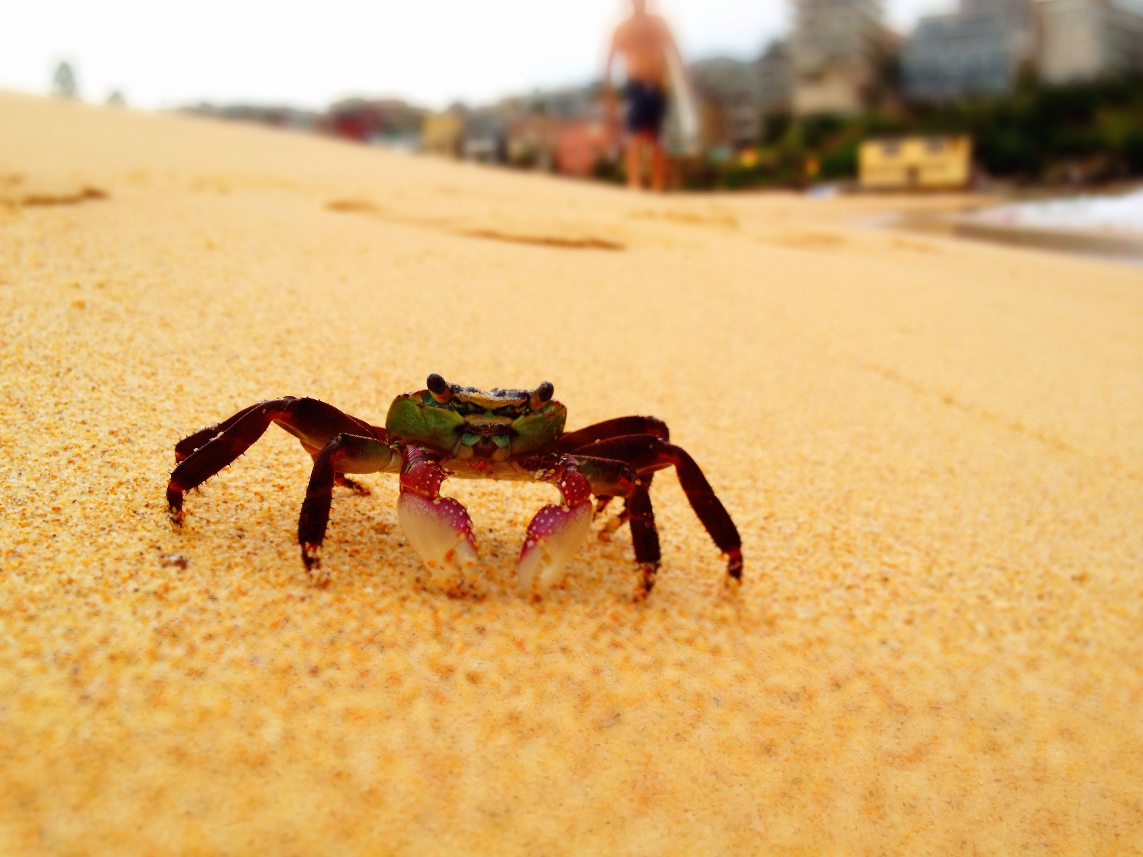 animal themes, one animal, animals in the wild, insect, sand, wildlife, selective focus, focus on foreground, full length, beach, close-up, nature, zoology, surface level, day, outdoors, no people, crab, sunlight, dead animal