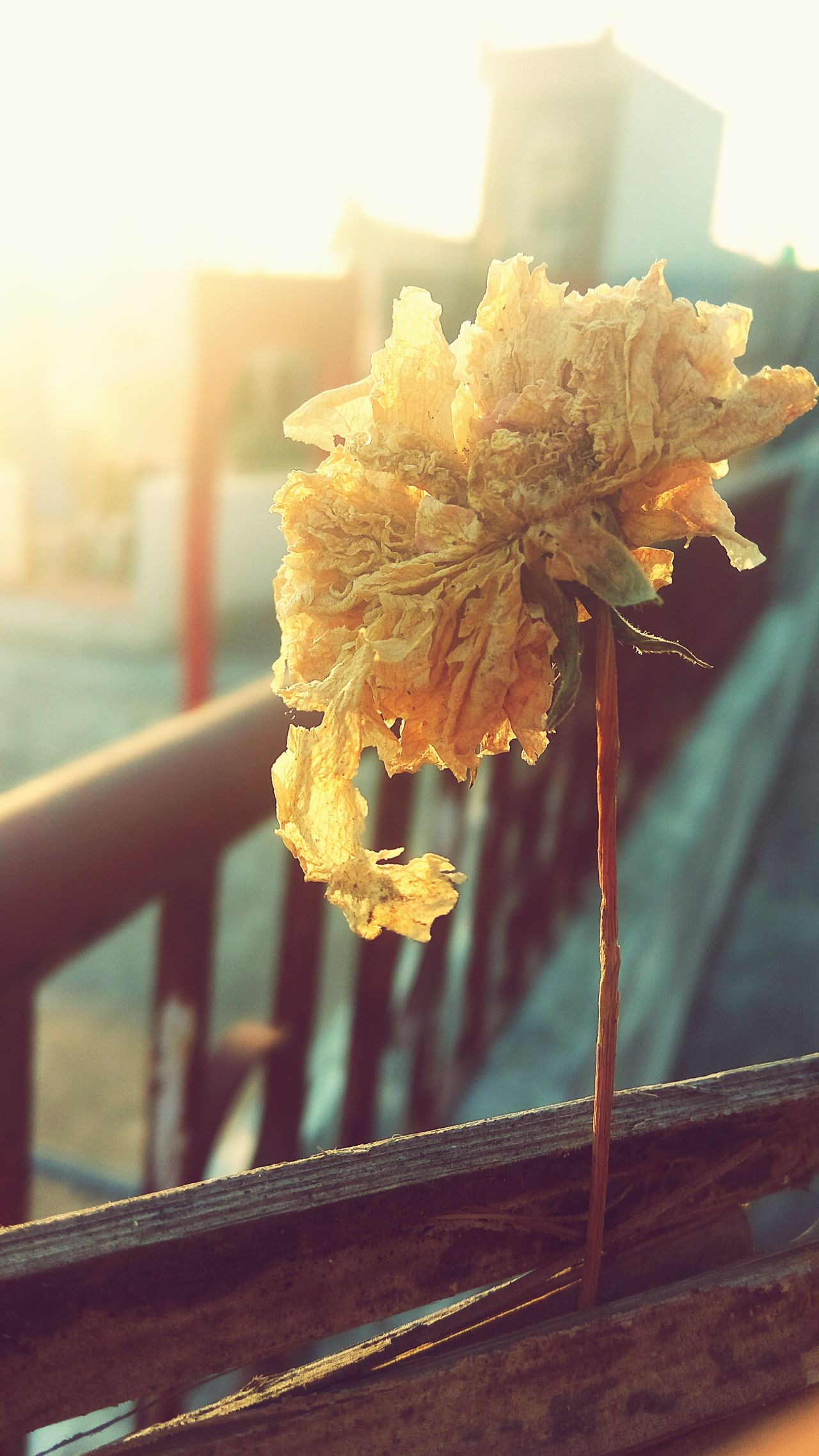 Focus On Foreground Close-up Outdoors Dead Leaves Cold Temperature Sky Dead Flowers Adroble Naturelover❤ Sunlight ☀ Nature Dry Flower  Yellow Rose