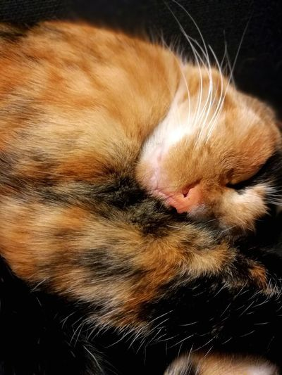 comfortable Calico Cat Relaxation Sleeping Cat Cat Lovers Cute Lovely Pets One Animal Domestic Animals Domestic Cat Animal Themes Mammal Feline No People Whisker Close-up Indoors  Portrait Black Background Day