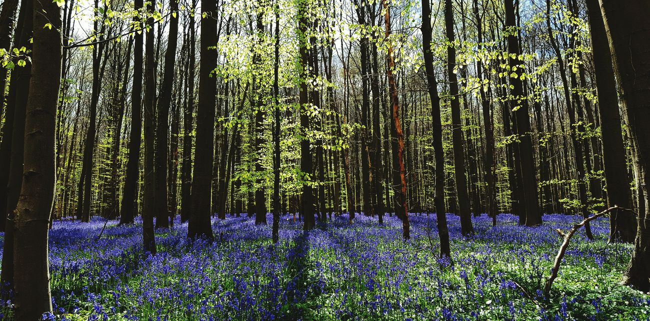 Hallerbos Nature Forest Forest Flowers Rays In The Forest In The Wood Purple Flowers Belgium In The Forest