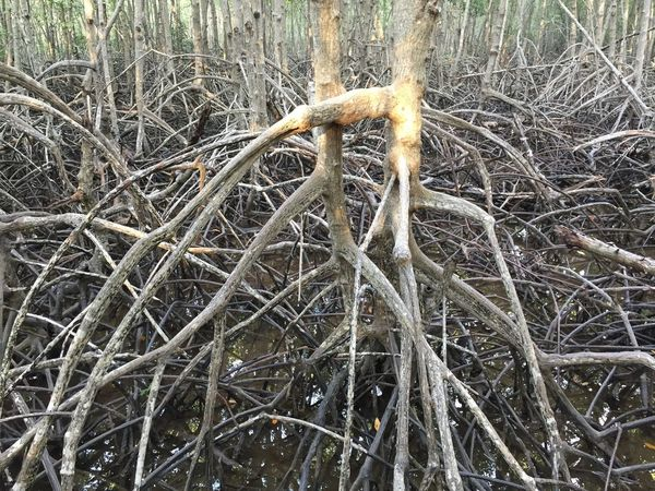 Rhizomes Rhizome Plant Rhizomatic Roots Roots Of Tree Roots And Branches Roots Of Life Root Of A Tree