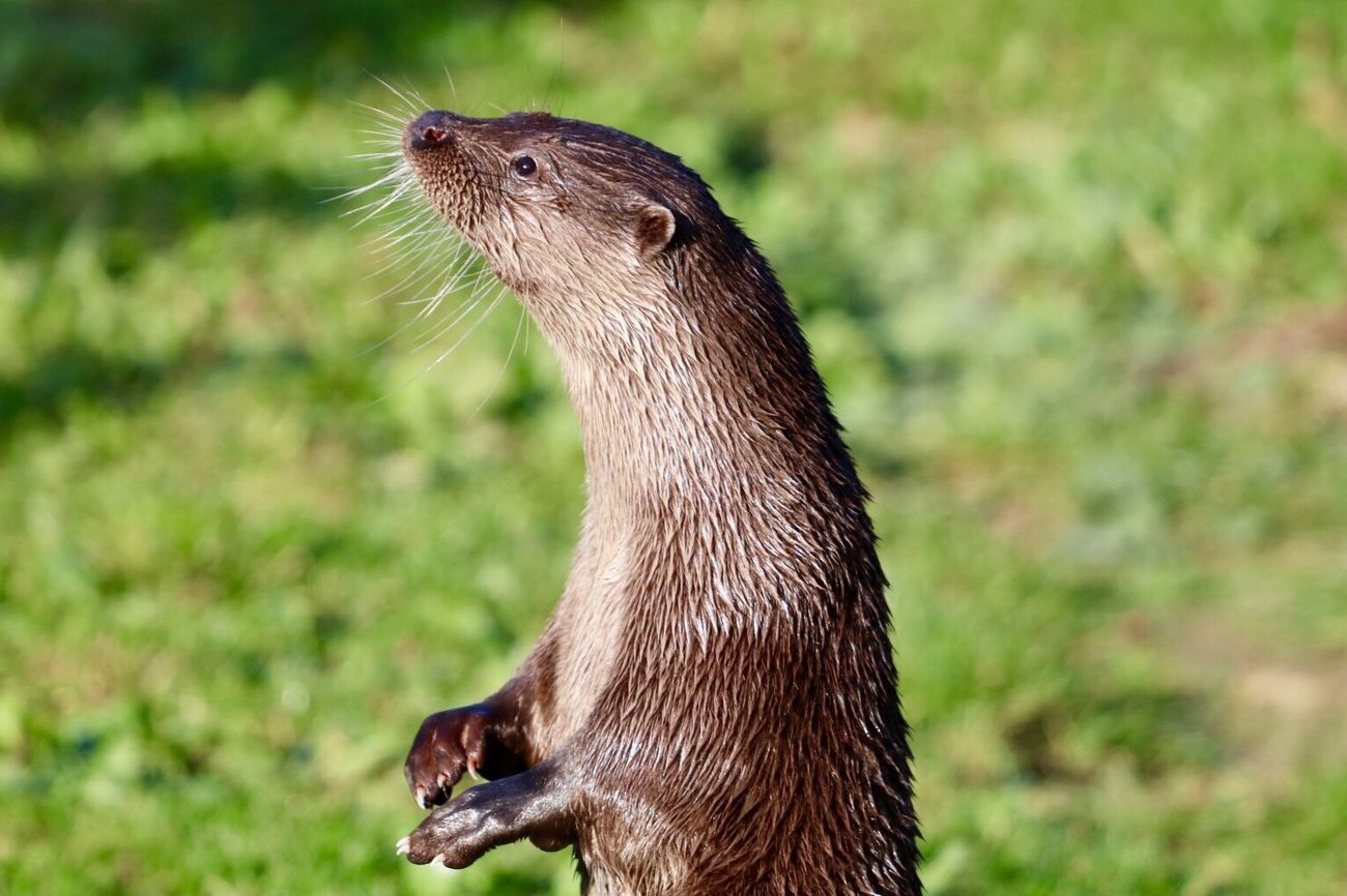 Otters Animal Themes One Animal Mammal Animal Wildlife Close-up Outdoors No People Day Nature