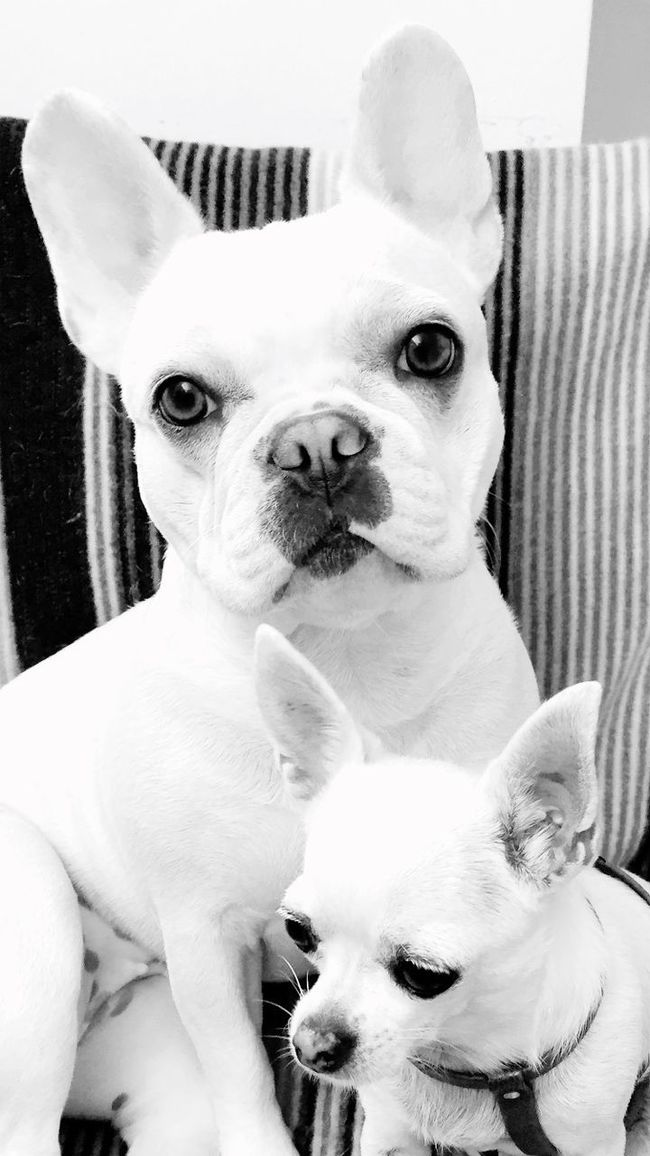 Friends Blackandwhite Frenchbulldog Blackandwhite Photography Mydog