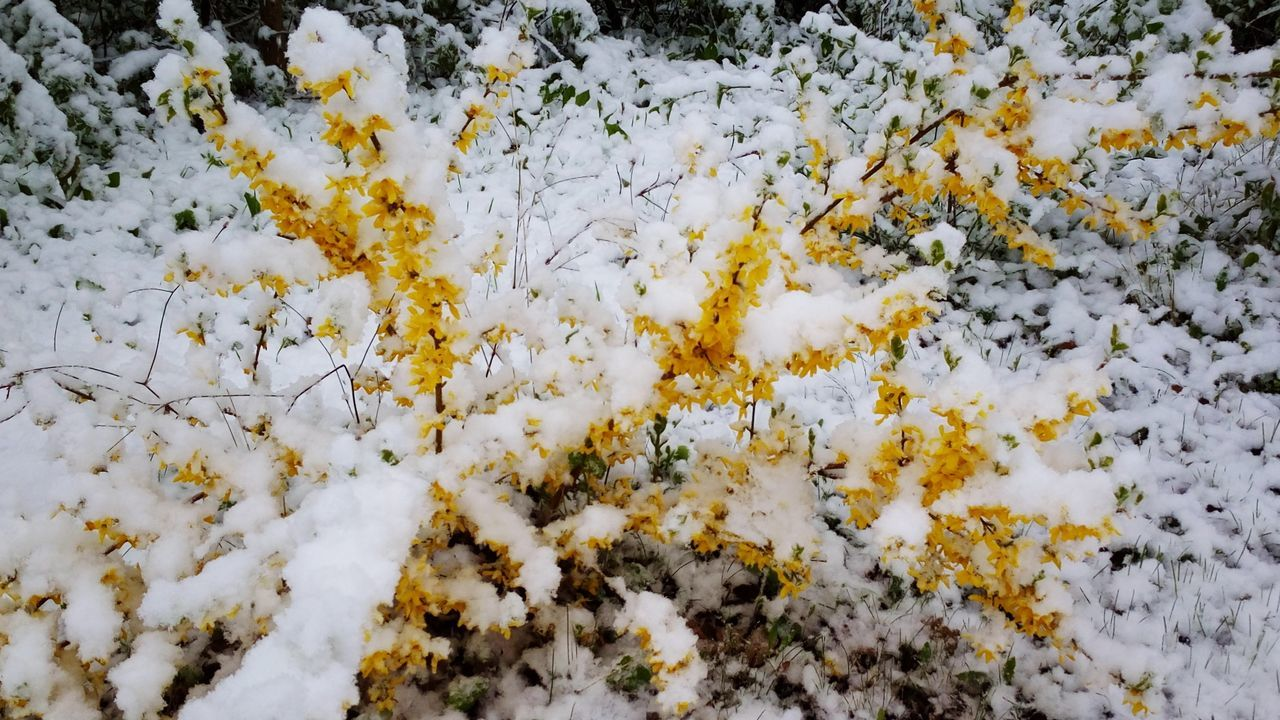 Winter in April Snow Snow Day Cold Cold Weather Cold Spring Spring Spring Snow Laburnum White And Yellow