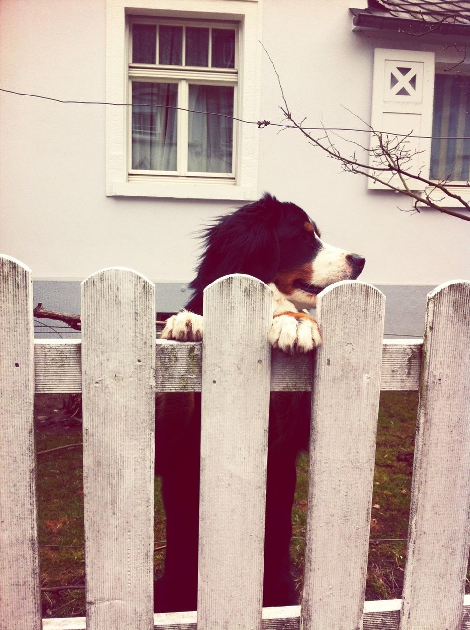 Dog Looking Over Picket Fence In Back Yard