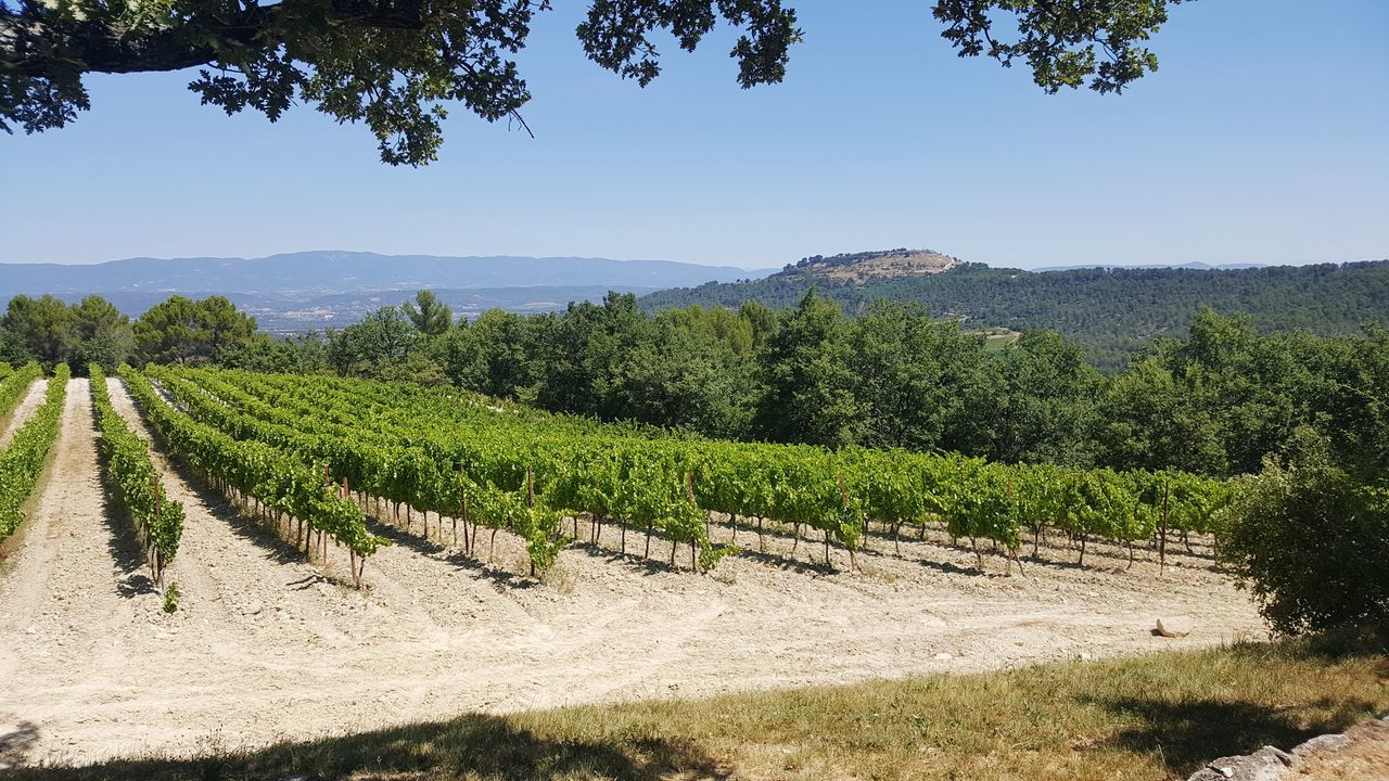 Agriculture Food And Drink Tree Fruit Growth Rural Scene No People Freshness Landscape Nature Day Outdoors Beauty In Nature Wine Production Grenache Wine Tasting Provence French Wine Grapes On The Vine Grapes Vineyard Green Color Agriculture