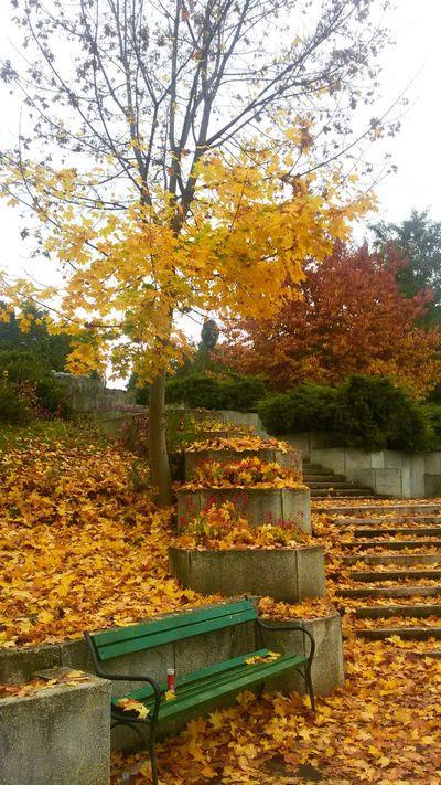 Tree Autumn Nature Beauty In Nature Yellow Color Of Autumn Autumn Autumn Colors Autumn Leaves Autumn🍁🍁🍁 Bench ősz Toamnă🍁 Targu Mures Marosvasarhely Erdély Transilvania, Romania Ardeal Romania