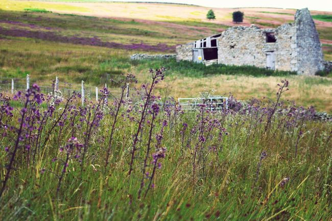 Thistles Flower Landscape Old Buildings Run Down Places Heather
