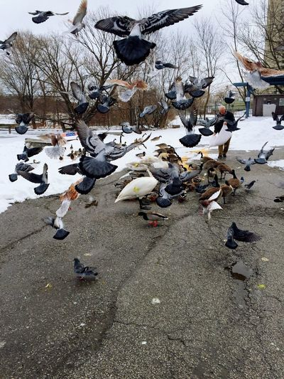 Showcase March Feeding Frenzy Cornmeal Time To Eat Bird Fight Canada Goose Ducks At The Lake Duck Taking Off Coming In For A Landing Time To Eat Cornmeal Swan Swans Pigeons Port Credit Feeding The Birds Birdfeed