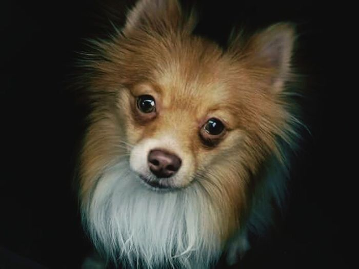 This is my pomeranian Nikko. He is my pride and joy. First Eyeem Photo