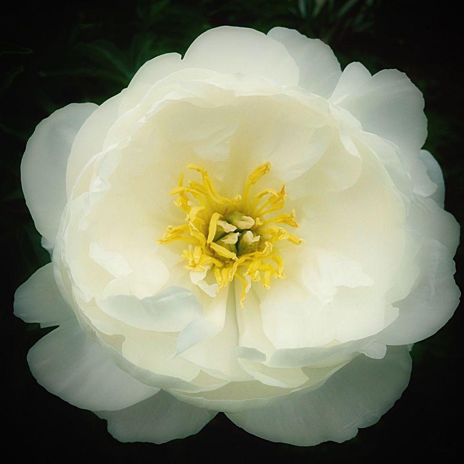 芍薬 シャクヤク Flower Photo