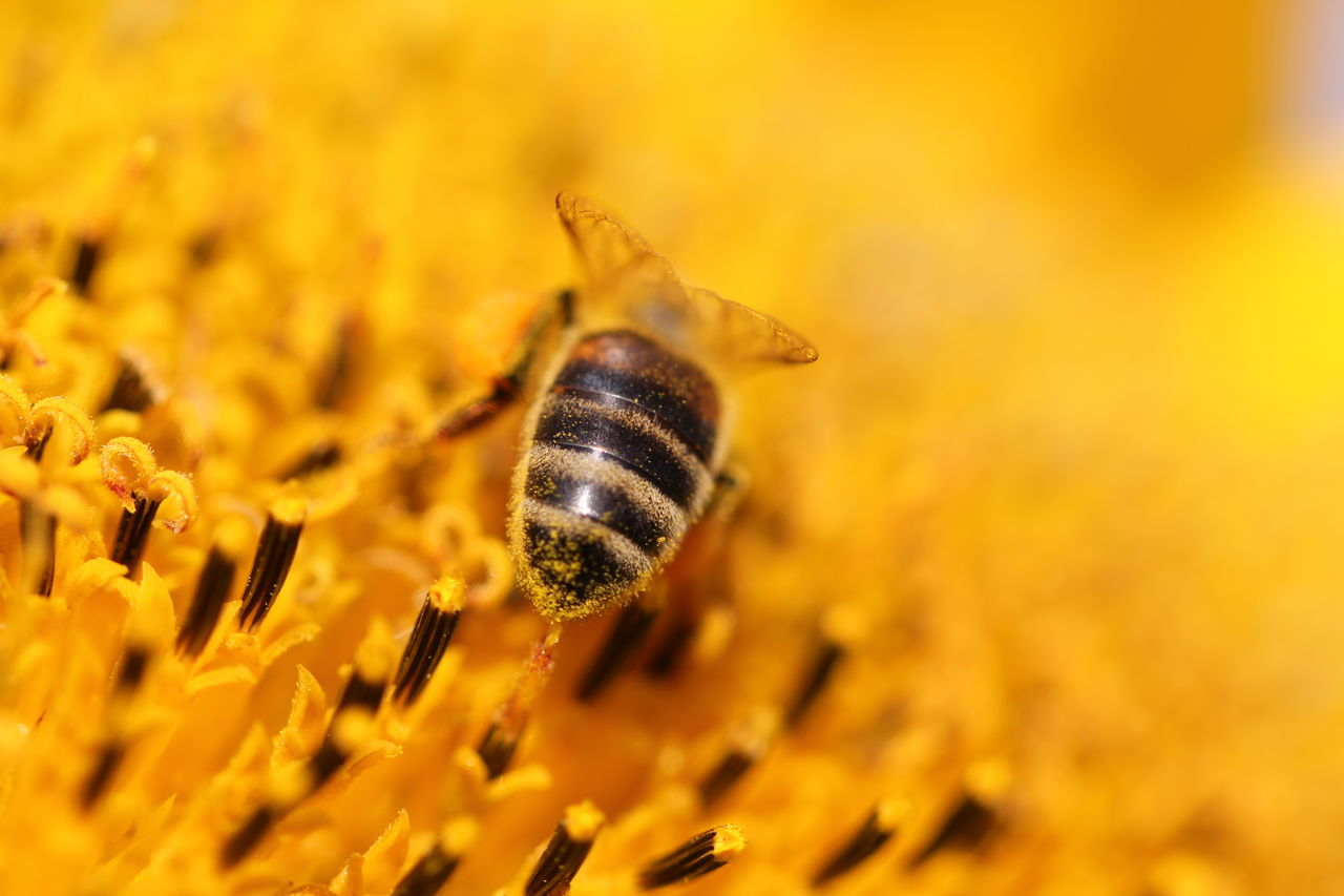 bee helianthus Sunflower yellow close-up insect pollination sunflower petals honey bee