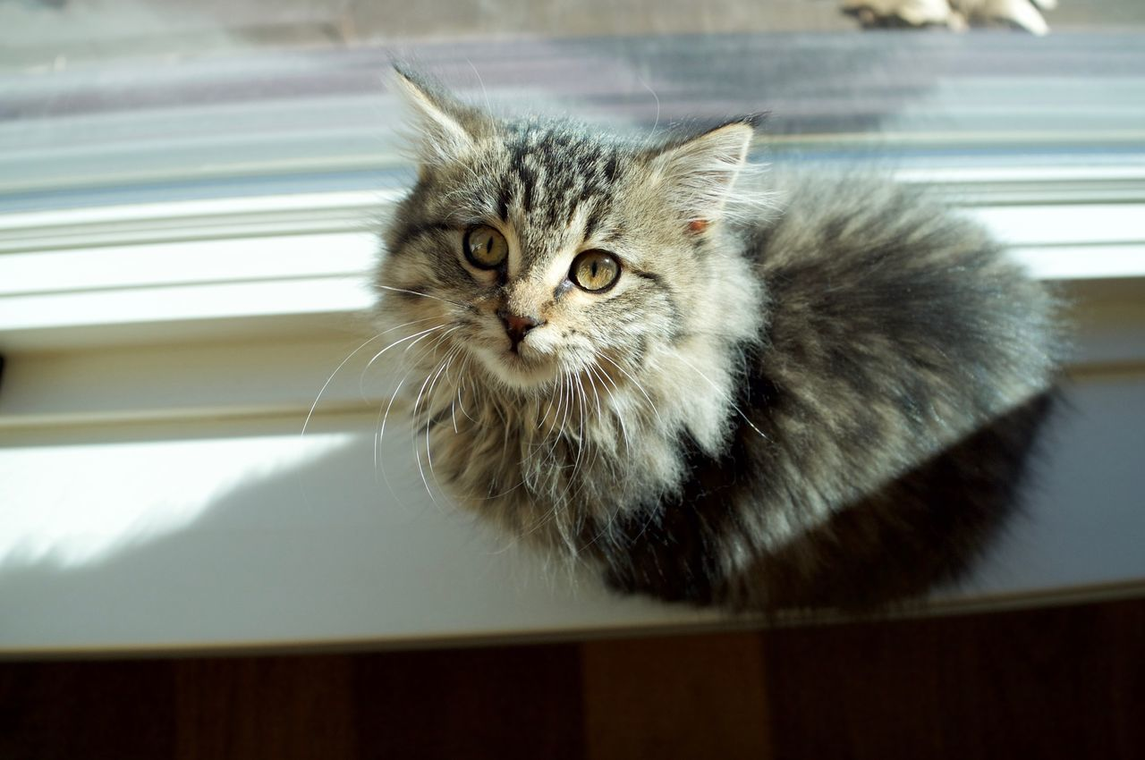 Animal Themes Cat Day Domestic Animals Domestic Cat Duluth Feline Indoors  Looking At Camera Mammal Minnesota No People One Animal Persian Cat  Pets Portrait Whisker Yellow Eyes