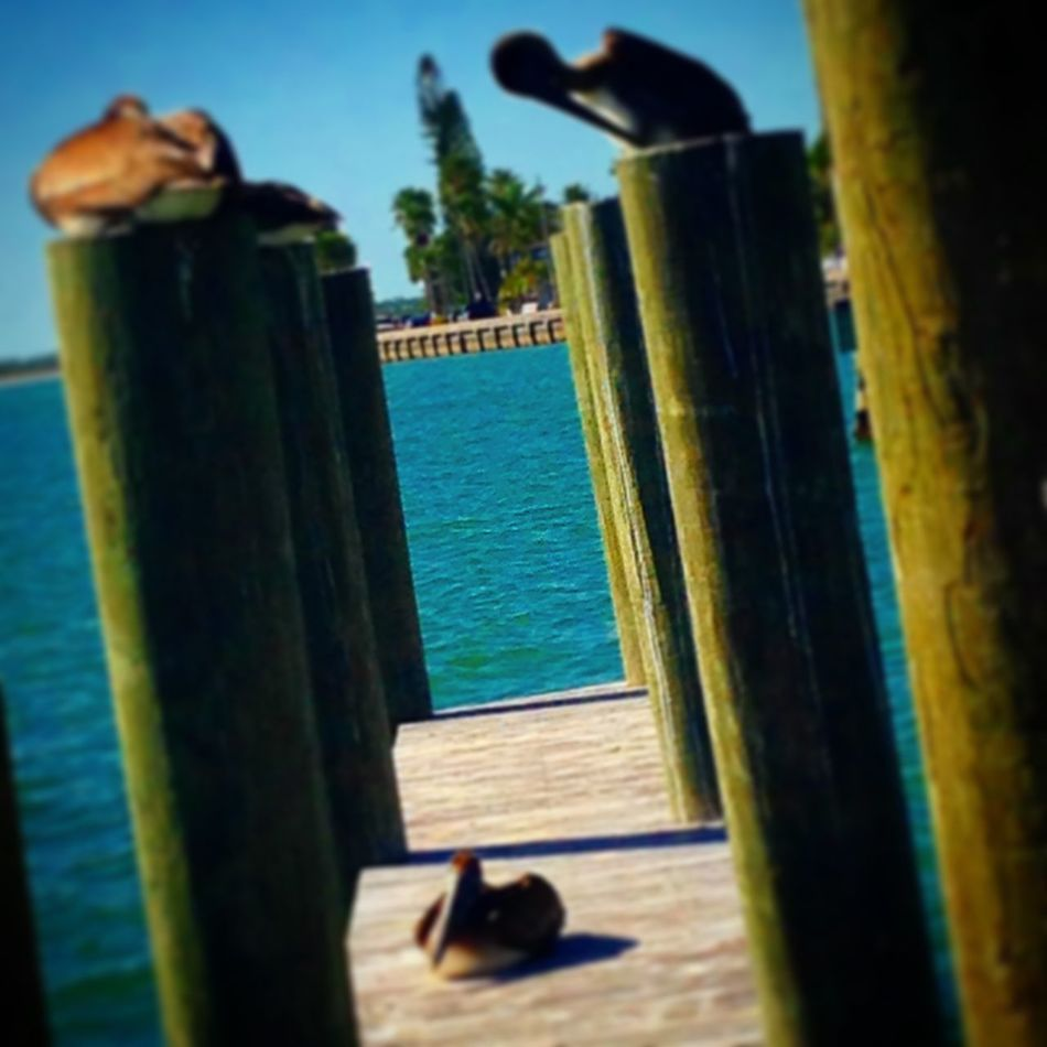 A picture that I edited down in Florida! I think it's cool because of the brown pelicans. 😄 Brown Pelicans Florida
