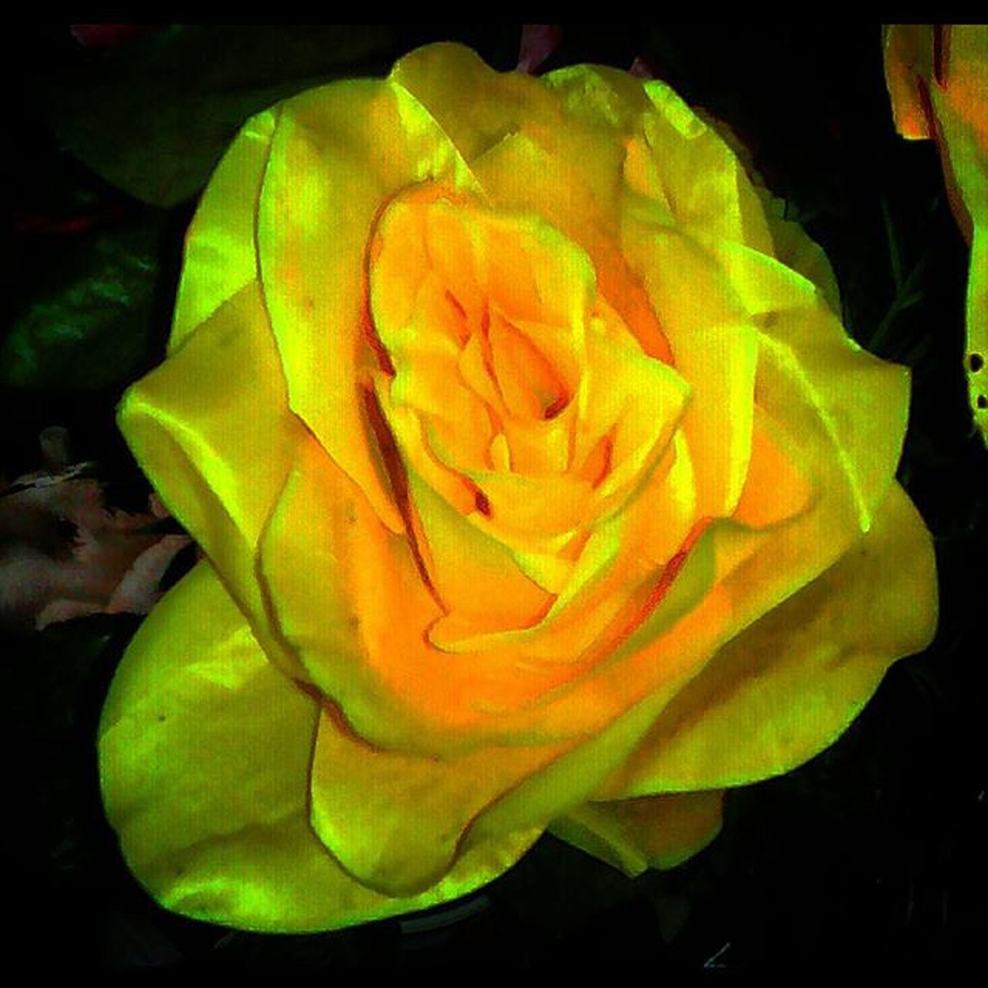 Squareinstapic анютиныглазки ЖелтаяРоза желтый БутонРозы YellowFlower YellowRose ButonRose Цветочки ЦветочныйХаос ЦветочныйХалат ЦветочныйХэштег