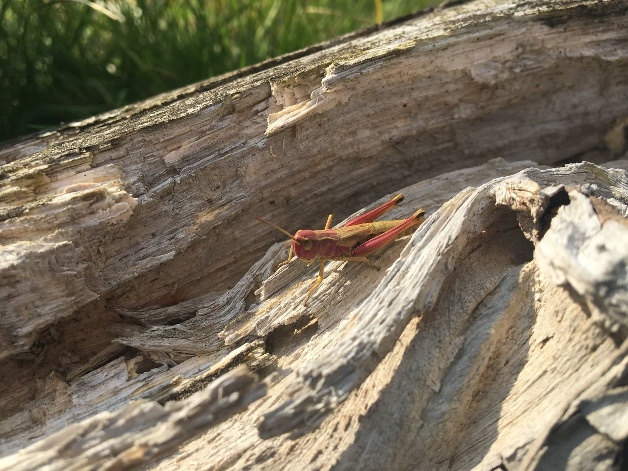 Animal Wildlife Close-up Dead Tree Grashüpfer Grasshopper Insect Nature Orange Orange Color Red Wood