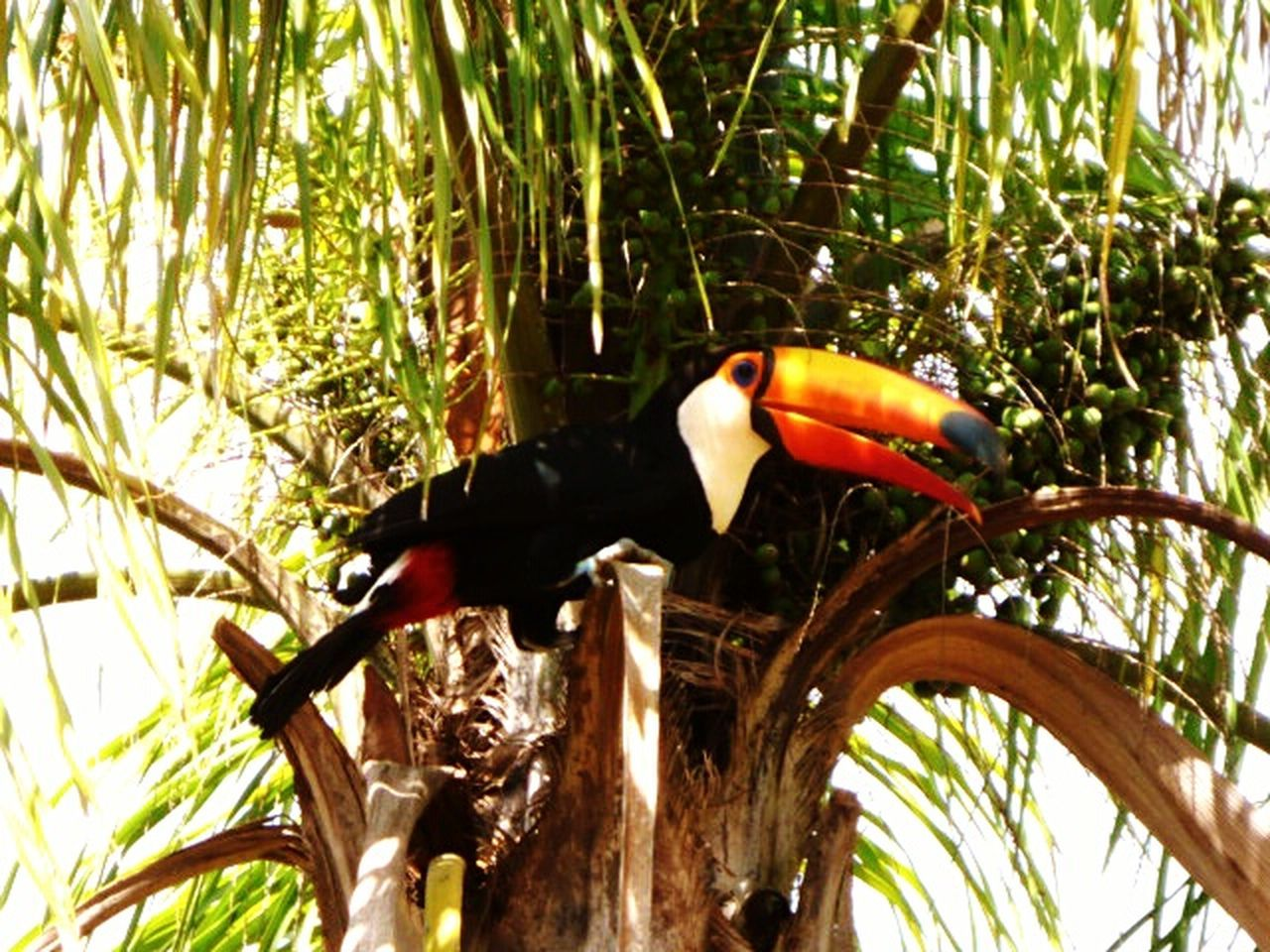 Animal Themes Tree Animals In The Wild Nature One Animal Bird Branch No People Day Outdoors Parrot Tucan Capture The Moment