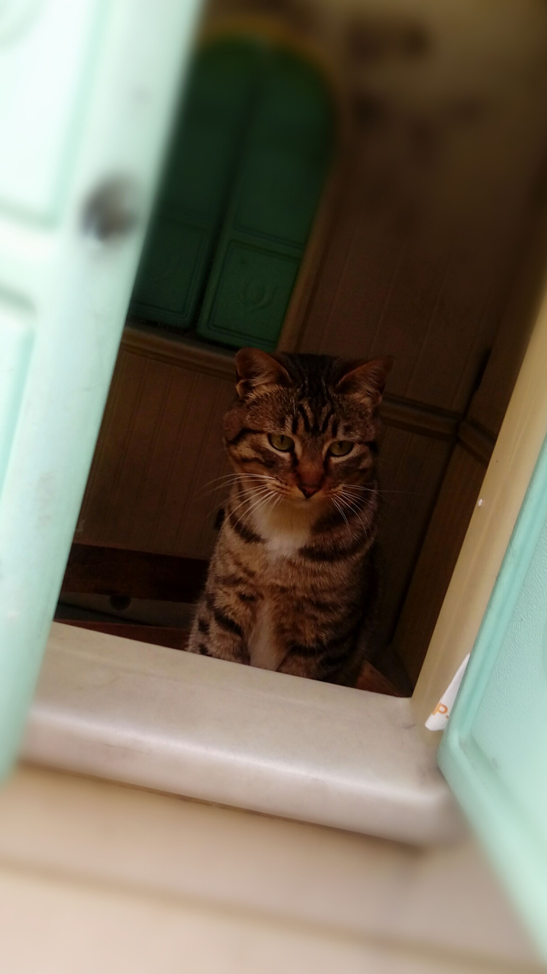 domestic cat, pets, domestic animals, animal themes, one animal, indoors, mammal, no people, feline, tabby cat, close-up, day
