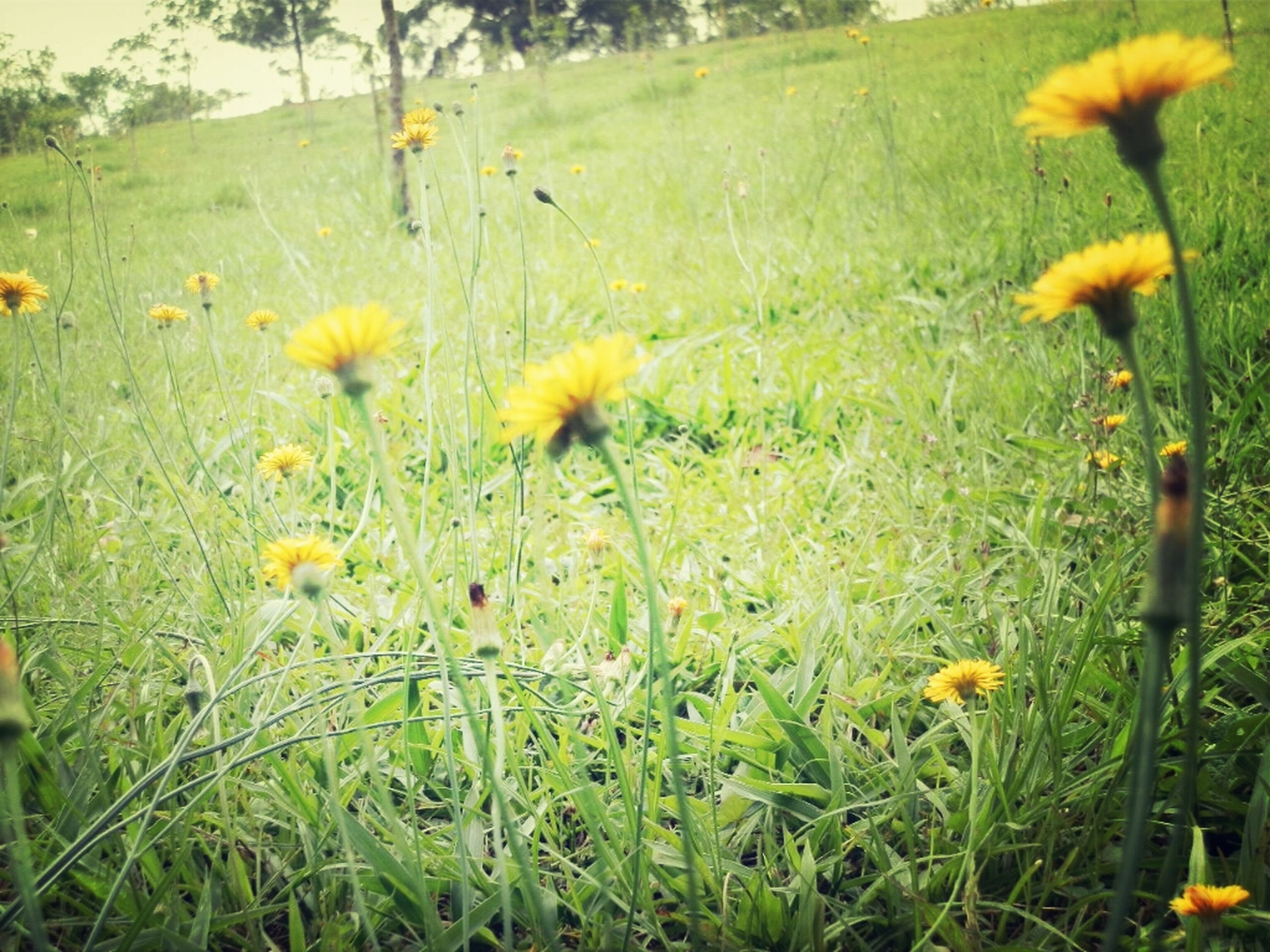 flower, growth, freshness, yellow, beauty in nature, field, plant, fragility, nature, blooming, wildflower, grass, green color, stem, tranquility, in bloom, petal, tranquil scene, uncultivated, growing